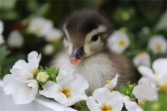 Wildlife & Nature - Sadie Hall - Daisy Duckling