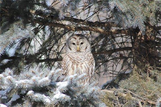 Wildlife & Nature - Kristen Genet - Owl