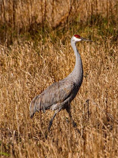 Wildlife & Nature Winner - Tom Stuart - Wetland Sandhill Crane