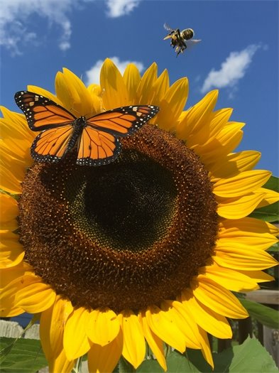 Wildlife & Nature - Rachel Carlson - Backyard Sunflower