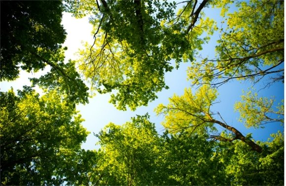 Tree tops against a blue sky