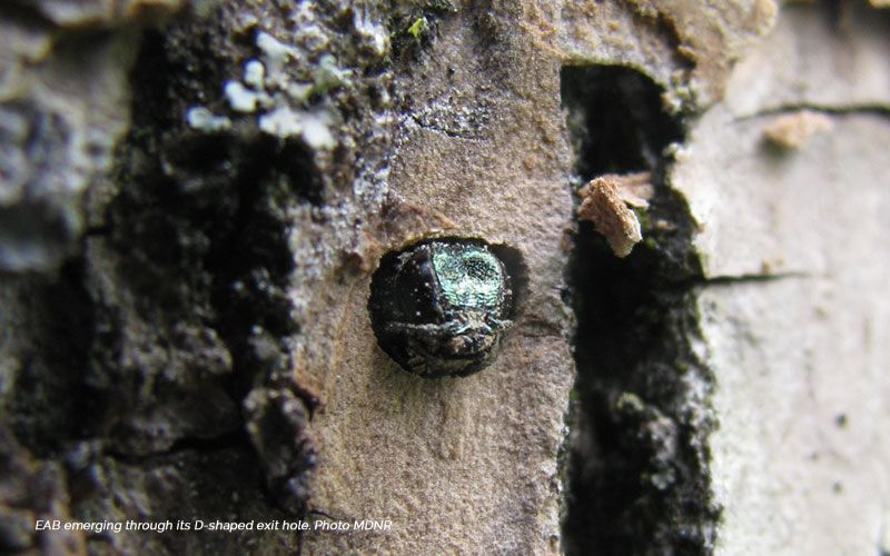 EAB emerging through its D-shaped exit hole. Photo MDNR